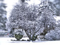 Winter tree beautiful under snow Royalty Free Stock Photography