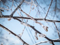 Winter tree branches with pure ice on them close up scenic view of covered and clear blue sky in background beautiful frosty Stock Image