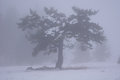 Winter tree in fog Stock Image