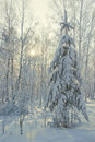 Winter tree spruce covered with snow in the forest Royalty Free Stock Image