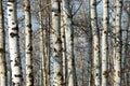 Winter tree trunks Royalty Free Stock Photo