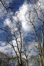 Winter trees bare tree branches against a blue sky with clouds Royalty Free Stock Photos