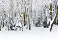 Winter trees covered with snow in the forest Stock Photos