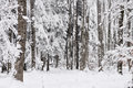 Winter trees in the forest Royalty Free Stock Photo