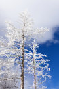 Winter trees frosted with blue sky near mammoth hot springs yellowstone national park Royalty Free Stock Photo