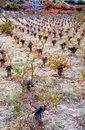 Winter vineyard in lophou,cyprus Stock Image