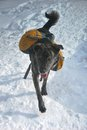 Winter in the white mountains in new hampshire dog with a backpack running through snow Royalty Free Stock Photos