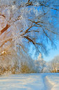 Winter wonderland scene with snowy forest nature - forest landscape scene with soft sunlight Royalty Free Stock Photo