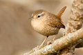 Winter Wren Royalty Free Stock Photo