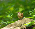 Winter Wren in Woodland Royalty Free Stock Photos