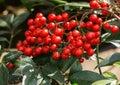 Winterberry - Ilex Verticillata