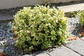 Wintercreeper or Euonymus fortunei evergreen shrub plant with green to yellow leaves growing as bush next to stone tiles sidewalk Royalty Free Stock Photo