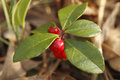 Wintergreen with Red Berries Royalty Free Stock Photo