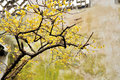 Wintersweet in Humble Administrator's Garden Royalty Free Stock Photo
