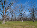 Wintertime Pecan Grove Royalty Free Stock Photo