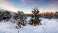 Wintry landscape with pines beauty in sunrise Royalty Free Stock Photo