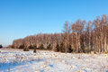 Wintry lanscape with birches sunny Royalty Free Stock Photography