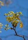 Wiosna się blisko maple Fotografia Royalty Free