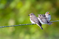 On the wire female spotted flycatcher muscicapa striata and three of her fledgelings in uppland sweden Stock Image