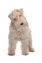 Wire fox terrier Stock Photography