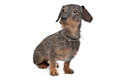 Wire-haired dachshund Stock Photos