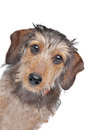 Wire-haired Dachshund Royalty Free Stock Images
