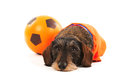 Wire haired dachshund as sports fan Royalty Free Stock Photo