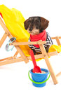 Wire haired dachshund at the beach in chair isolated over white background Royalty Free Stock Photography