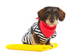Wire haired dachshund at the beach in swim suit Stock Photo