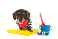 Wire haired dachshund at the beach in swim suit Royalty Free Stock Photo
