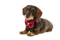 Wire haired dachshund with christmas bow velvet isolated over white background Stock Photo