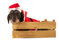 Wire haired dachshund with christmas suit in wooden crate red of santa claus isolated over white background Royalty Free Stock Photography
