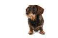 Wire haired dachshund isolated over white background Royalty Free Stock Photo