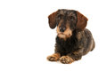 Wire haired dachshund isolated over white background Royalty Free Stock Images