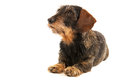 Wire haired dachshund isolated over white background Stock Image