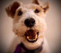 Wire haired terrier dog portrait of with open mouth Stock Photography