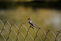 Wire tailed swallow this bird is found in open country near water and human habitation swallows are fast flyers and they generally Stock Images