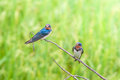 Wire tailed swallow little bird on top leaf rice rice filed Royalty Free Stock Image