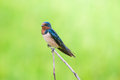 Wire tailed swallow little bird on top leaf rice rice filed Stock Photo
