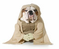 Wise dog english bulldog wearing munk costume isolated on white background Stock Photo