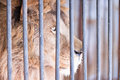 Wise glance lion behind bars of large in zoo Royalty Free Stock Images
