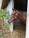 Wise old mare always alert brown bay horse looking out of the barn Royalty Free Stock Photos