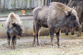 Wisent european bison bison bonasus a mother and a baby in the prague zoo Royalty Free Stock Photos