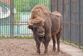 A wisent an european bison bonasus Royalty Free Stock Images