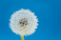 Wish flower Dandelion Royalty Free Stock Photo