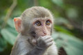 Wishing a close up rhesus macaque for something Royalty Free Stock Photography