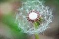 Wishing seeds dandelion with half of the already wished upon Royalty Free Stock Photos