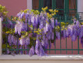 Wisteria Royalty Free Stock Photos