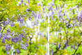 Wisteria adv others purpose use Stock Photos