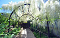 The wisteria arch in english style botanic gardens in christchurch new zealand Royalty Free Stock Image